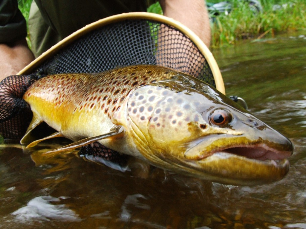 wild trout fishing