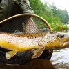 Gorgeous Wild Brown Trout