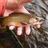 Adirondack Brook Trout